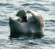 Лебеди в Евпатории